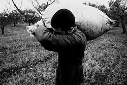 02/12/2010 Acquaviva delle Fonti, trasporto a mano di sacchi pieni di olive....La raccolta delle olive e la produzione dell'olio extravergine sono un rituale che si protrae da moltissimo tempo in Puglia, questo avviene solitamente nel periodo che va da novembre a dicembre, mentre il lavoro di preparazione e coltivazione si svolge lungo tutto l'arco dell'anno..La raccolta è seguita nella maggior parte dei casi, quando le olive non vengono vendute all'ingrosso, dalla molitura presso gli oleifici per la produzione di quello che da queste parti viene chiamato anche oro verde..