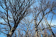 crowns of a bare deciduous trees
