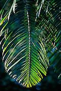 Palm leaf in jungle - Amazonia, Peru.