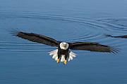 Bald Eagle, Haliaeetus leucocephalus, landing, Kenai Peninsula, Homer Spit, Homer, Alaska. Digital original, #2006_0812 ©Robin Brandt