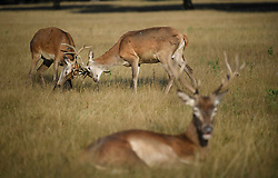© Licensed to London News Pictures. 01/09/2019. London, UK. Deer rutting on a warm, bright morning on the first day of meteorological autumn in Richmond Park, west London. Photo credit: Ben Cawthra/LNP