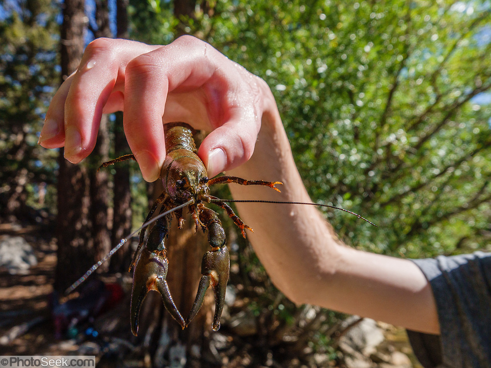 A crayfish at Secret Lake. We hiked Leavitt Meadows Loop clockwise (8.9 miles with 1570 ft gain with ridge extension above Lane Lake) in Hoover Wilderness, Humboldt-Toiyabe National Forest, California, USA. Trailhead is at Leavitt Meadows Campground, 38.33401 N, 119.55177 W. Staying below 8000 ft elevation, this makes a good training hike. The best ambiance is at Secret Lake. Roosevelt and Lane Lakes provide pleasant views.