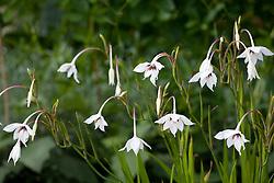 Gladiolus callianthus syn. Acidanthera bicolor var. murielae, A. murielae - Fragrant gladiolus, Sword lily