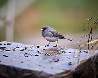 Dark-eyed Junco looking for food on a rainy morning. Image taken with a Nikon D5 camera and 600 mm f/4 VR lens (ISO 1600, 600 mm, f/4, 1/640 sec).