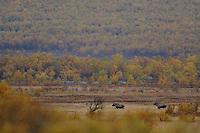 Elk (Alces alces)forollhogna national park , norway, september