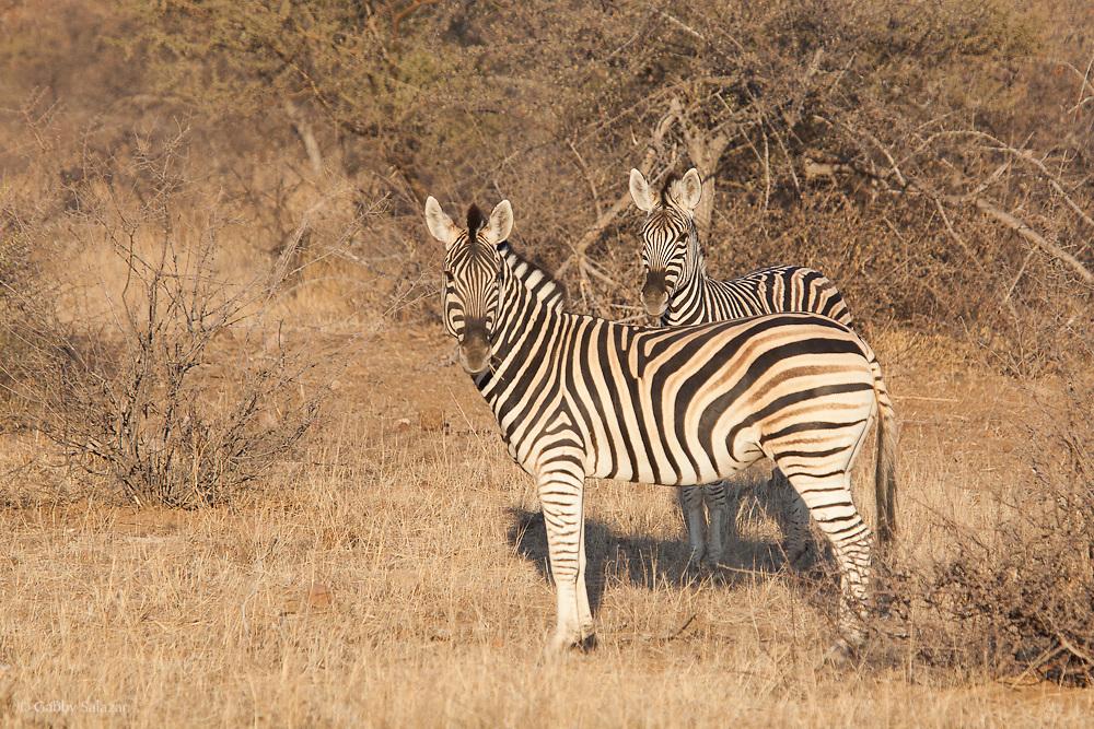 Zebra. Mapungubwe National Park and World Heritage Site, Leokwe Camp, South Africa, September 2009, Organization for Tropical Studies Trip.