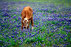 Young cow grazing in a field of bluebonnets