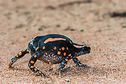 Banded rubber frog (Pyrynomantis bifasciatus)<br /> Marataba, A section of the Marakele National Park, Waterberg Biosphere Reserve<br /> Limpopo Province<br /> SOUTH AFRICA<br /> HABITAT & RANGE: Hot, semi-arid to subtropical savanna woodlands, grassland and bushveld vegetations.
