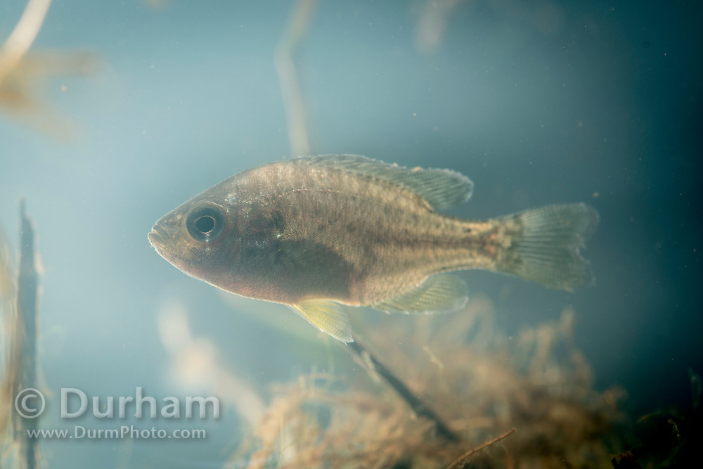 A small, juvenile pumpkinseed fish (Lepomis gibbosus) near the Chehalis River in Washington State. This species is a North American freshwater fish of the sunfish family (Centrarchidae) of the order Perciformes. It is also referred to as pond perch, common sunfish, punkys, sunfish, sunny, and kivver.