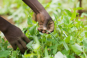 An African farmer harvests vegetables in Lwala, a town in the North Kamagambo region of Kenya.