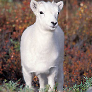 Dall Sheep, (Ovis dalli) Ram on ridge in the Alaska Range mountains. Denali National Park.