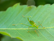 Speckled bush cricket (Leptophytes punctatissima), juvenile, Kent, UK