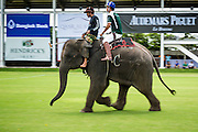 "28 AUGUST 2014 - BANGKOK, THAILAND: An elephant lumbers up the pitch (field) at the King's Cup Elephant Polo Tournament at VR Sports Club in Samut Prakan on the outskirts of Bangkok, Thailand. Each elephant carries two people, the polo player and mahout, who actually controls the elephant. The tournament's primary sponsor in Anantara Resorts. This is the 13th year for the King's Cup Elephant Polo Tournament. The sport of elephant polo started in Nepal in 1982. Proceeds from the King's Cup tournament goes to help rehabilitate elephants rescued from abuse. Each team has three players and three elephants. Matches take place on a pitch (field) 80 meters by 48 meters using standard polo balls. The game is divided into two 7 minute ""chukkas"" or halves.      PHOTO BY JACK KURTZ"