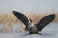 White-Fronted Goose (Anser albifrons) at Durankulak Lake, Bulgaria. February 2009 <br /> Mission: Red-Breasted Goose