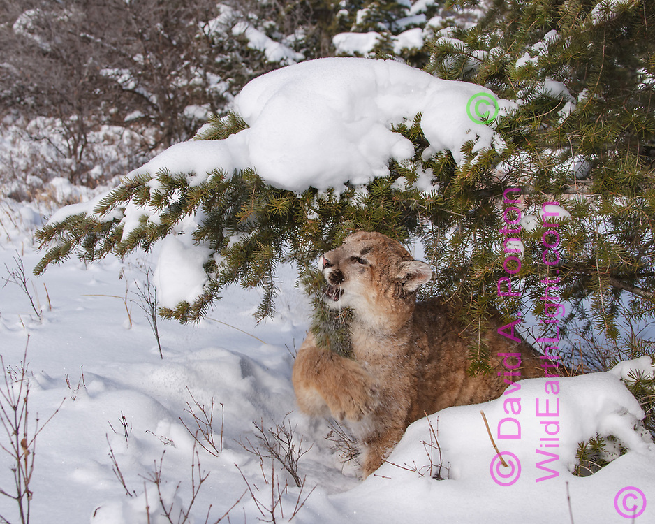 Young mountain lion plays with conifer branch laden with new snow, © David A. Ponton