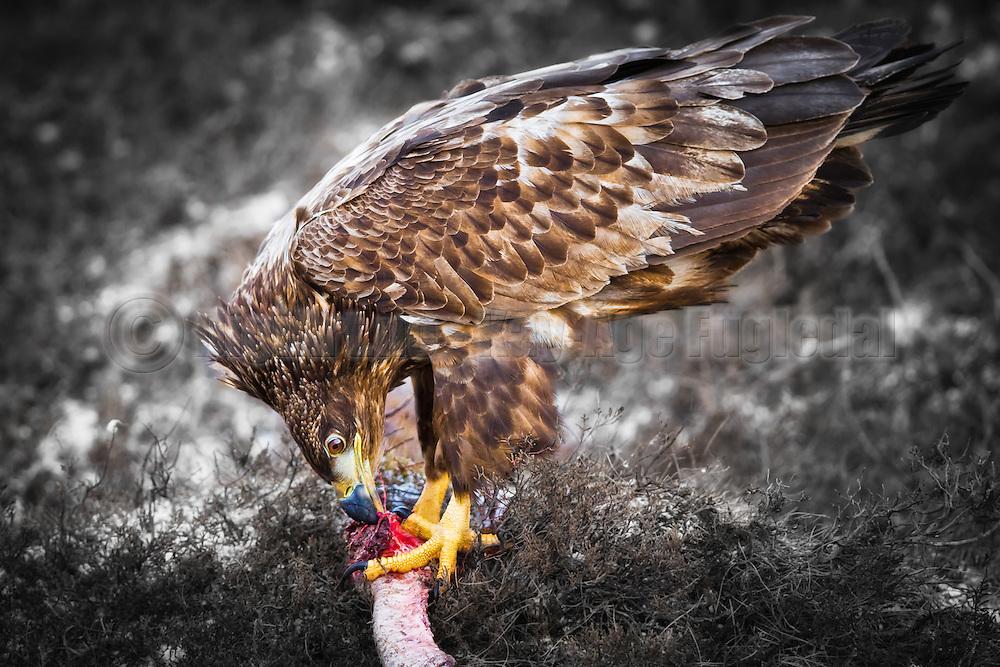 Havørn sitter på bakken og spiser   White-tailed Eagle on ground eating.