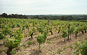Vineyard. Chenin Blanc. Chateau des Vaults, Domaine du Closel, Savennieres, Loire, France