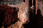 A87CME Hereford cow face