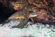 green sea turtle or honu, Chelonia mydas, resting inside small cavern in reef, Honaunau, Souith Kona, Hawaii, USA ( Central Pacific Ocean )