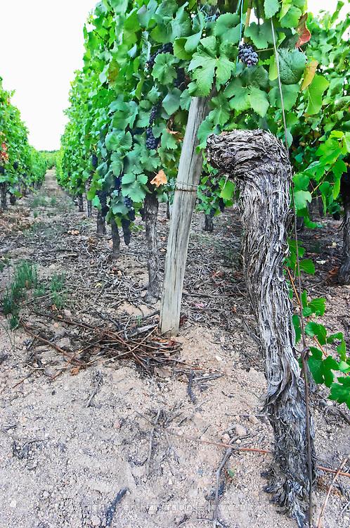 pinot gris old vine sandy soil vineyard brand gc turckheim alsace france