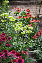 The echinacea trial. Includes Echinacea 'Hot Coral', 'Virgin', 'Delicious Candy', 'Green Jewel'