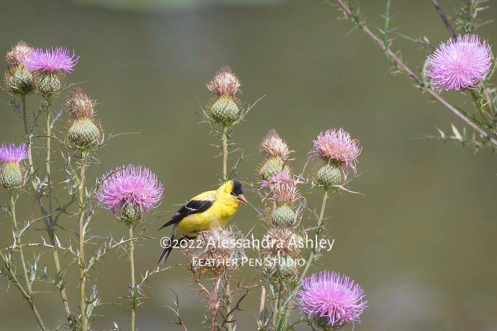 American goldfinch male (Spinus tristis) eating thistle seed in late summer.