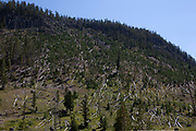 Deforestation of pine wood trees on a hillside at Gibbon, in Yellowstone National Park, Wyoming. Fires on occasion rage through the forest leaving behind burnt and fallen trees which are left to decompose naturally, and to regrow over time. This is how the park is run, leaving nature to take its natural cause, not intervening with nature.