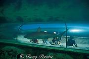 Caribbean reef shark, Carcharhinus perezi (c)<br /> Atlantis Resort, Paradise Island, <br /> near Nassau, New Providence Island, Bahamas<br /> No MR