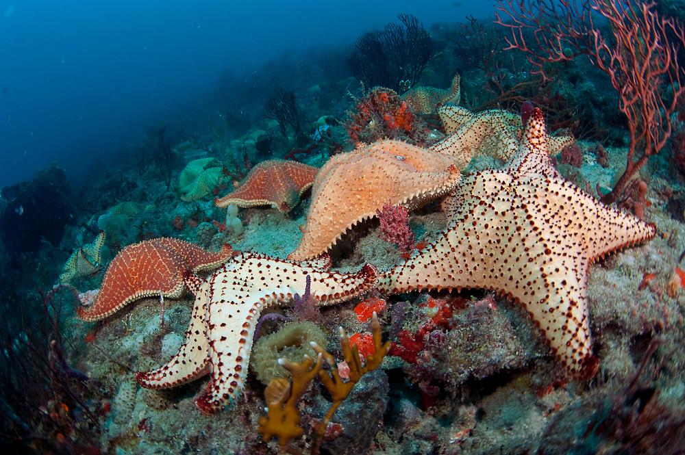 Cushion star fish, Oreaster reticulatus, crawl over a coral reef in Palm Beach, Florida.