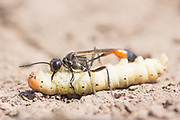 Sand digger wasp (Ammophila sabulosa) with paralysed caterpillar prey. Surrey, UK.