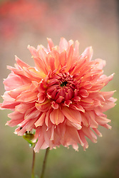 Dahlia 'Fairway Spur'