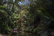 The stream that the Goldie Bush Walk follows through lusg New Zealand coastal rain forest, west of Auckland in the Waitakeres.
