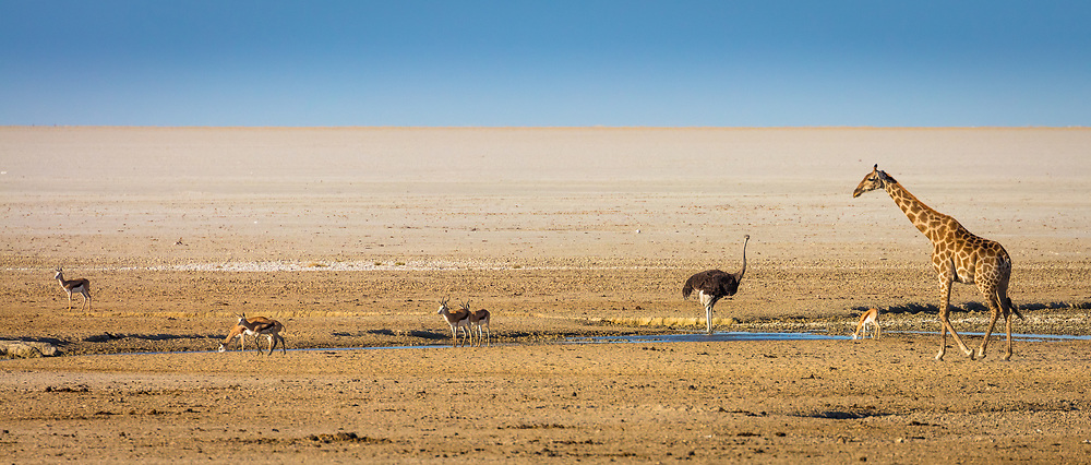 Etosha National Park is a national park in northwestern Namibia. The park was proclaimed a game reserve on March 22, 1907 and gets its name from the large Etosha pan which is almost entirely within the park. The Etosha pan (4,760 square kilometres (1,840sqmi)) covers 23% of the area of the total area of the Etosha National Park. The park is home to hundreds of species of mammals, birds and reptiles, including several threatened and endangered species such as the black rhinoceros. The park is located in the Kunene region and shares boundaries with the regions of Oshana, Oshikoto and Otjozondjupa. Explorers Charles John Andersson and Francis Galton were the first Europeans to record the existence of the Etosha pan on 29 May 1851. The explorers were traveling with Ovambo copper ore traders when they arrived at Omutjamatunda (now known as Namutoni). The Etosha pan was discovered when they traveled north upon leaving Namutoni.