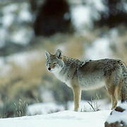 Coyote, (Canis latrans) Portrait of lone coyote in sagebrush. Winter.