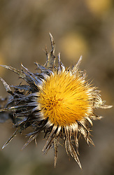 Seedhead of Carlina vulgaris - Carline thistle