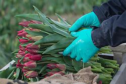 North America, United States, Washington, Mount Vernon, tulip harvest at annual Skagit Valley Tulip Festival, held in April