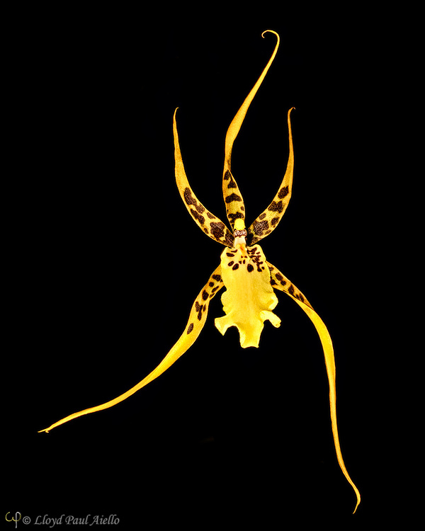 """A Brassia orchid bloomed by the photographer.  Brassia is a genus of orchids  named after William Brass, a British botanist and illustrator who collected plants in Africa.  These orchids are epiphytes (air plants) that grow in wet forests from sea level to altitudes under 5,000 feet (~1500m) in South Florida, the West-Indies and tropical America, especially the Peruvian Andes. <br /> <br /> Brassia flowers are notable for the characteristic long sepals which can exceed 20 inches (~50 cm), giving them their common name of """"spider orchid"""".<br /> <br /> Brassia orchids utilize a very specialized form of entomophily (pollination by insects) to fertilize their flowers.  They are only pollinated by the female spider-hunter wasps of the genera Pepsis and Campsomeris.  The lip of the Brassia bloom is mistaken by these wasps for spiders and the wasps repeatedly sting the lip while  trying to grasp their prey without success. During this struggle, the wasp comes into contact with the pollinarium, that then sticks to its head. When that wasp flies to another Brassia flower and repeats the attack, the pollinarium on its head pollinates the new flower."""