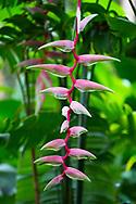 Heliconia 'Sexy Pink' at the Gemrose Eden Garden, St. David's, Grenada, West Indies, The Caribbean