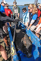 Manatee Health Assessments, Kings Bay, Crystal River, Citrus County, Florida USA. November 10, 2011 am. Researchers from several federal and state agencies and other partners work together to gather data during the manatee capture and health assessments. An arch is used for weight documentation as the animal is hoisted up. Grease pencil marks denote an assigned field ID number and its sex. The manatee is only out of the water for a pre-determined safe period of time.