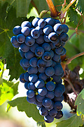 Marques de Riscal black grapes for Rioja red wine at Elciego in Rioja-Alavesa area of Basque country, Spain