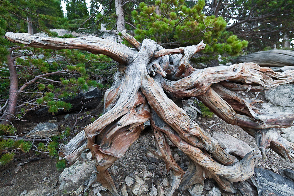 Dead, dried, exposed root system, Rocky Mountain National Park, Colorado.