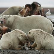 Polar Bear (Ursus maritimus) mother and cubs feeding on the carcass of a bowhead whale (Balaena mysticetus). Alaska