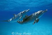 Atlantic spotted dolphins, Stenella frontalis, Bahamas <br /> ( Western Atlantic Ocean )