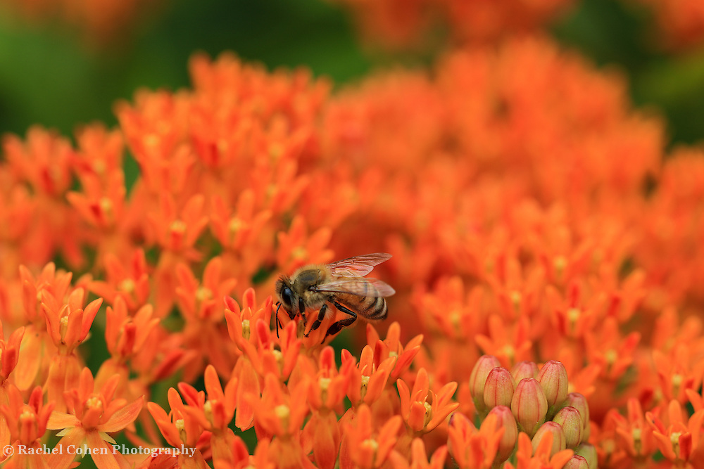 """""""Drink it Up"""" <br /> <br /> A bee on top of gorgeous and vibrant orange butterfly weed in summer!"""