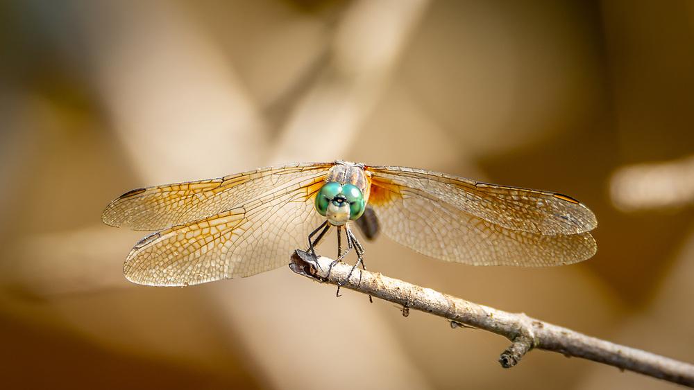 Dragon Fly, Gardner Marsh, UW-Madison Arboretum. Picture taken Aug. 17, 2020.