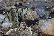 Trachelochismus aestuarium (Estuary Clingfish)