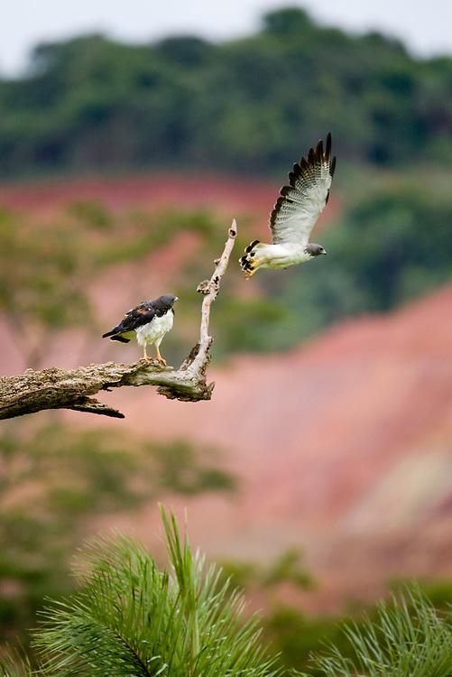 Jeceaba_MG, Brasil...Ave de rapina no galho de uma arvore em Jeceaba, Minas Gerais...The bird of prey on the branch tree in Jeceaba, Minas Gerais...Foto: JOAO MARCOS ROSA / NITRO