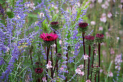 Echinacea  'Vintage Wine' with Perovskia (check i.d) and Linaria (poss Linaria purpurea 'Canon Went' but check i.d)
