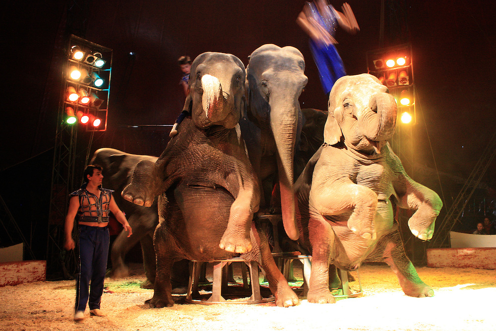 Elephants performing in a circus. In several countries the use of animals in circuses has been banned due to the cruelties involved