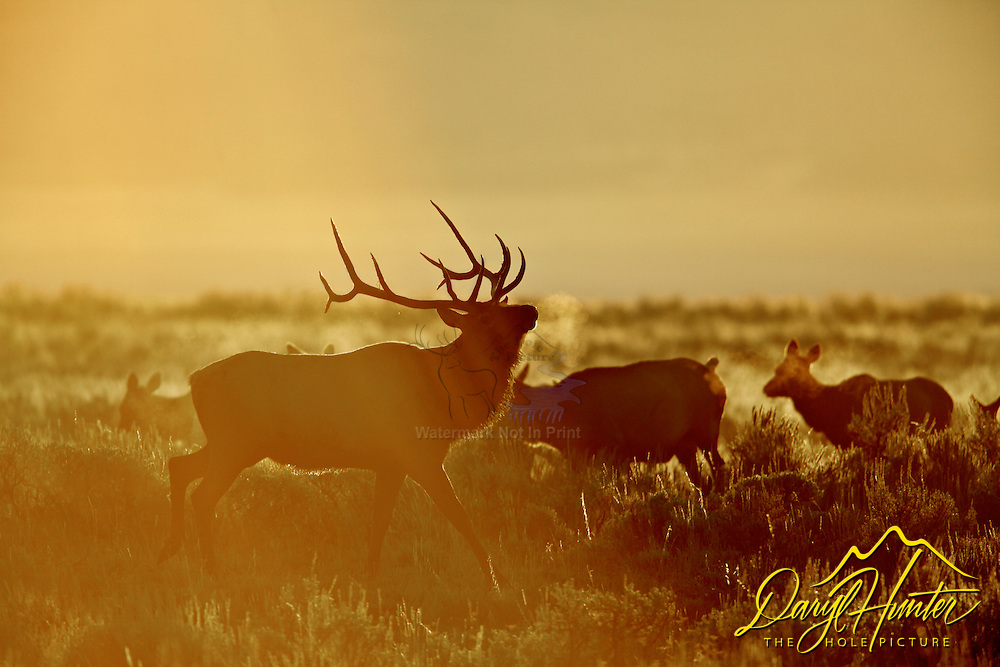 Prancing Bull Elk, Sunrise, Grand Teton National Park